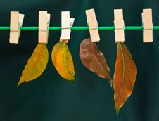 Leaves On A Clothes Line Stock Images