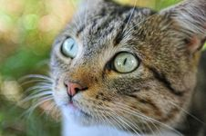 Free Looking Cat Close-up Royalty Free Stock Photography - 17230087