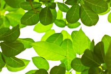 Free Green Leaves Royalty Free Stock Photo - 17234135