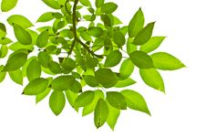 Free Green Leaves Royalty Free Stock Photos - 17234248