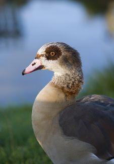 Free Egyptian Goose Stock Photos - 17235723