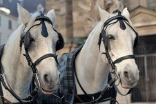 Free Pair Of Horses Stock Images - 17236214