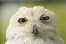 Free Snowy Owl Stock Photos - 17236843