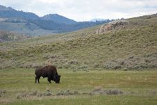 Free American Bison Royalty Free Stock Image - 17238126