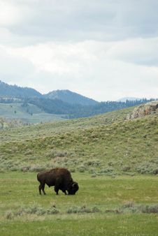 Free American Bison Stock Image - 17238131