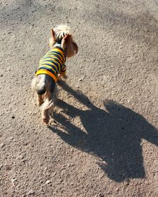Free Dog In Striped Clothes Stock Photo - 17239000