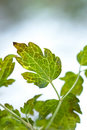 Free Green Leaves On White Snowy Background Stock Photo - 17240420
