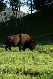 Free Buffalo Grazing Stock Photos - 17241063