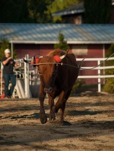 Free Young Steer Running And Roped Stock Image - 17243001