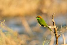 Free Green Bee-Eater Royalty Free Stock Images - 17243229
