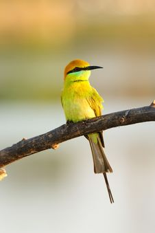 Free Green Bee-Eater Stock Images - 17243234