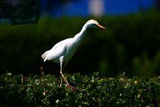Free Walking Bird Royalty Free Stock Photo - 17243295
