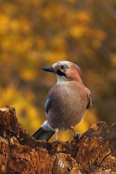 Free Eurasian Jay On A Rotten Log Stock Photography - 17243712
