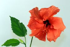 Free Hibiscus Flower With Leaves Stock Photos - 17243743