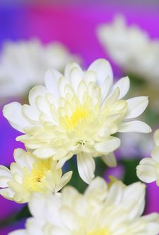 Free White Chrysanthemum Royalty Free Stock Photos - 17244318