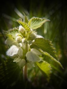 White Dead Nettle Royalty Free Stock Photo