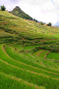 Free Rice Terrace Royalty Free Stock Images - 17252359