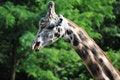 Free Giraffe Royalty Free Stock Photo - 17252965