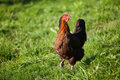 Free Hen In Green Grass Stock Image - 17254631