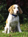 Free Rescue Beagle Sitting In Field Royalty Free Stock Image - 17255026