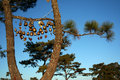 Free Golden Bell With Hanging On A Green Spruce Branch Royalty Free Stock Image - 17259406