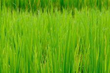 Free Rice Paddy After Rain. Royalty Free Stock Photo - 17250885
