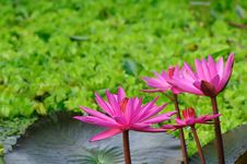 Free Water Lily Stock Photos - 17250963