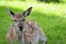 Free Young Doe Stock Photo - 17251550