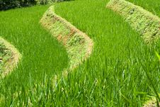 Free Rice Terrace Royalty Free Stock Photography - 17252307
