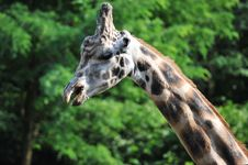 Free Giraffe Royalty Free Stock Photo - 17252965