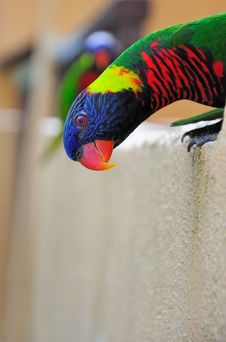 Free Rainbow Lorikeet Stock Image - 17254871