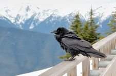 Free Raven In The Mountain Royalty Free Stock Image - 17258556