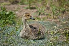 Free Canada Gosling In The Grass Stock Image - 17259561