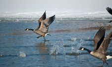 Free Canada Geese Taking Off Stock Photography - 17259572