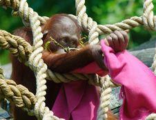 Free Cute Baby Orangutan Stock Image - 17261531