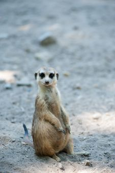 Free Cute Meerkat Royalty Free Stock Photo - 17261915