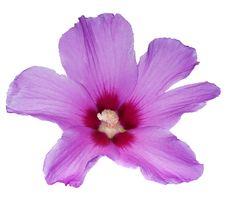 Free Beautiful Pink Flower On White Stock Image - 17264351