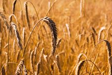 Free Wheat Stems On The Field Stock Image - 17265241
