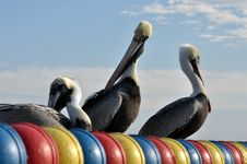 Free Three Pelicans Enjoying The Sun Royalty Free Stock Photography - 17266037