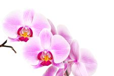 Free Orchid Stock Image - 17266171