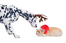 Free Dalmatians Sniffing Rabbit In The Santa Hat. Royalty Free Stock Images - 17266859