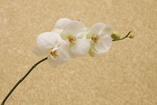 Free Branch Orchids Stock Images - 17267344