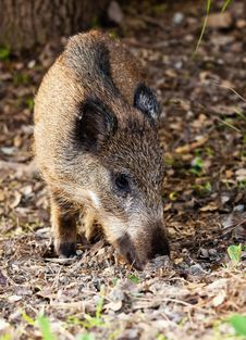 Free Young Wild Boar Stock Photo - 17268260