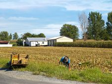 Free Amish Farmer Harvesting Corn Royalty Free Stock Image - 17269596