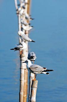 Free Seagull Royalty Free Stock Photo - 17274245