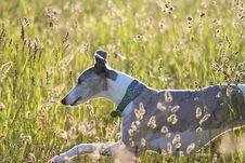 Whippet Running Through Meadow