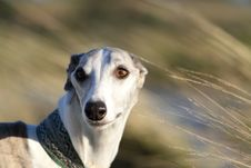 Free Whippet In The Wind Royalty Free Stock Photography - 17274607