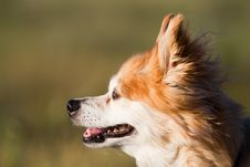 Old Mixed Breed Dog At Sunset Stock Image