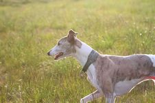 Free Whippet Trotting Through Grass, Sunset Stock Images - 17275434