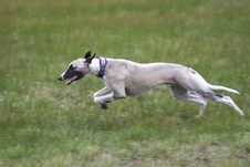 Free Dog Running Stock Photography - 17275472